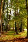 cypresstrees Arkivfoto
