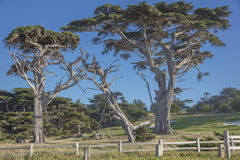 CypressTrees längs 17 mil drev nära Fanshell förbiser Kalifornien Royaltyfria Bilder