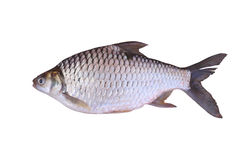 Cyprinidae or Silver barb is in the freshwater fish on white bac Royalty Free Stock Image