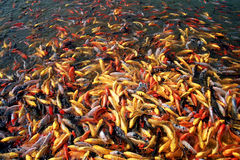Many carps in river Stock Photo