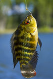 Cyprinus carpio. Carpa Stock Images