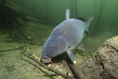 Cyprinus Carpio de la carpa de los pescados de agua dulce que alimenta con el boilie fotografía de archivo libre de regalías