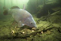 Cyprinus Carpio de la carpa de los pescados de agua dulce que alimenta con el boilie imágenes de archivo libres de regalías