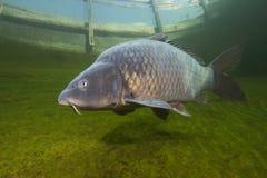 Cyprinus Carpio de la carpa de los pescados de agua dulce que nada en la libra limpia hermosa Tiro subacuático fotos de archivo libres de regalías