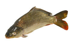 Cyprinus carpio Fish Carp Stock Images