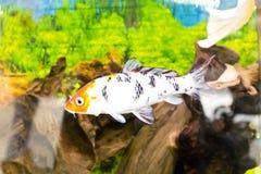 Cyprinus carpio koi in aquarium Stock Images
