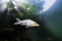 Cyprinus carpio som för sötvattensfiskkoikarp är undervattens- arkivfoton