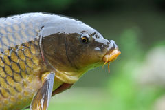 Cyprinus Stock Images