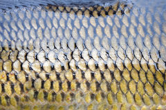 Cyprinus  scales Royalty Free Stock Photos