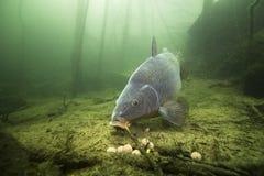 Cyprinus subacuático Carpio de la carpa del tiro que alimenta con el boilie foto de archivo libre de regalías