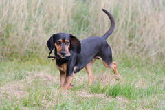 Cypriot bloodhound dog. Running on grass in field Stock Photo
