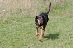 Cypriot bloodhound dog. Running on grass in field Stock Images