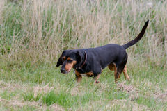 Cypriot bloodhound dog. Walking in long grass in field Royalty Free Stock Images