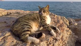 Cypriot cat resting at sunset near the sea in Ayia Napa stock footage