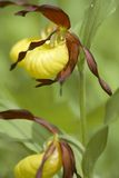 Cypripedium calceolis. Wild orchid flowering in the woods Stock Photography