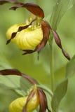 cypripedium calceolis Стоковая Фотография