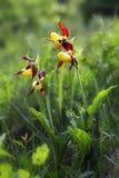 Cypripedium calceolus jest lady& x27; kapeć orchidea Obraz Royalty Free