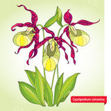 Cypripedium calceolus or Lady's slipper orchid on the light green background. Ornate flowers and leaves. Stock Photography