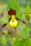Cypripedium calceolus.moccasin flower Royalty Free Stock Image