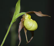 Cypripedium Hank Small Orchid Royalty Free Stock Images