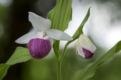 Cypripedium reginae wonderful garden ornamental orchid flower, pink and white flowering plant. With green leaves Royalty Free Stock Photos
