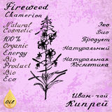 Cyprus angustifolia, Willow herb, Chamerion angustifolium, fireweed botanical illustration. Willow herb, Chamerion, fireweed, rosebay hand drawn sketch botanical Royalty Free Stock Images