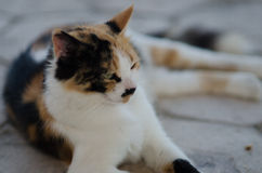 Cyprus cat. Cat near Hala Sultan Tekke Royalty Free Stock Images