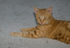 Cyprus cat. Cat near Hala Sultan Tekke Stock Photo