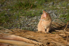 Cyprus cat. Red cat sit on grass Royalty Free Stock Photo