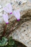 Cyclamen flowers stock photography