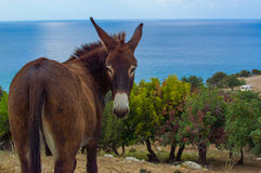 Cyprus donkey. Beautiful donkey standing over picturesque Akamas area near Aphrodites bath, Cyprus Stock Photo