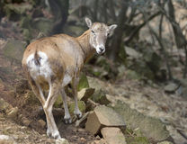 Cyprus Mouflon Royalty Free Stock Image