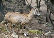 Cyprus Mouflon Stock Photos