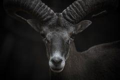 Cyprus Mouflon portrait Royalty Free Stock Images