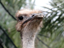 Cyprus ostrich. Ostrich head with palms in the background Stock Images
