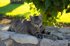 Cyprus. Protaras. The cat is asleep under a rose Bush. Stock Photography