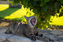 Cyprus. Protaras. The cat yawns beneath a rose Bush. Stock Images