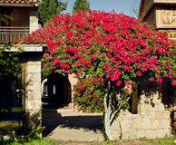 Cyprus streets: Rosebush on the background of a stylized ancient Stock Images