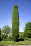 Cyprus tree in the gardens Royalty Free Stock Photo