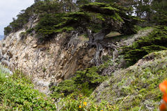 Cyprus trees on the coast. Beautiful cyprus tree in a cliff on the California coast Royalty Free Stock Image
