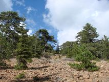 Cyprus. Troodos Mountains. Panorama of wild mountain forests at an altitude of 1900 meters above sea level. Natural picture of the mountain forest on a sunny royalty free stock image