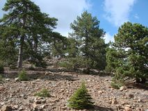 Cyprus. Troodos Mountains. Panorama of wild mountain forests at an altitude of 1900 meters above sea level. Natural picture of the mountain forest on a sunny stock images