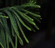 Cyprysów liście z zielonym colour obrazy royalty free