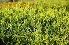 cyprys zamknięta zieleń opuszczać zamknięty fotografia stock
