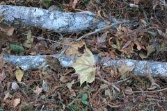 Cyprysowe kończyny kłama wśród liści Fotografia Royalty Free