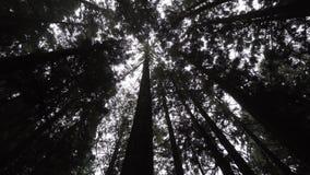 Cyprysowego drzewa korony z s?o?ca ja?nieniem Przez lasu w Alishan Scenicznym terenie, Tajwan zbiory
