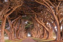 Cyprysowego drzewa tunel malował w złotym świetle podczas wschód słońca obrazy stock