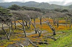 Cyprysowi drzewa Obraz Royalty Free