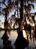 cyprysowi drzewa Zdjęcie Royalty Free