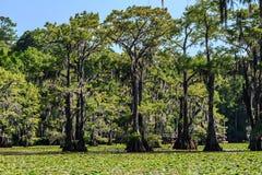 Cyprysowi drzewa i leluja kwiaty przy Caddo jeziorem, Teksas Obraz Royalty Free